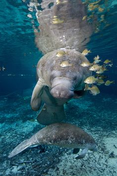 West Indian Manatees are not only endangered in Virginia but also most other parts of the United States and Nations world-wide. The Sea Cow or Trichechus manatus which is divided into two sub species, the Antillean and the Caribbean manatee. In October of Vida Animal, Mundo Animal, Beautiful Creatures, Animals Beautiful, Cute Animals, Sea Cow, Oceans Of The World, Ocean Creatures, Fauna