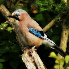 Jay (Garrulas glandarius) At Knypersley Reservoir.Stoke on Trent, via Flickr.