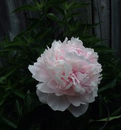 Peony Summer Flowers, Cut Flowers, Flower Farm, Peony, Farmer, Wedding Flowers, June, Wedding Ideas, Spring