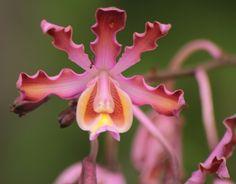 Myrmecophila Grandiflora Orchid | Myrmecophila grandiflora observado por stikish a las 01:54 PM CST en ...