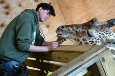 Animal caretaker Corey Dwyer with April.  April the pregnant giraffe at Animal Adventure Park in Harpursvile N.Y., Tuesday March 21, 2017.  Michael Greenlar | mgreenlar@syracuse.com