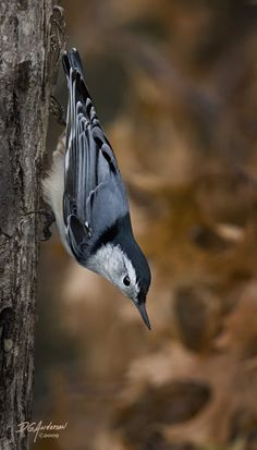 Fall Nuthatch by DGAnder