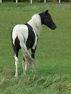 MKK PAINTED LIBBY LEE SASS - Registered ASPC/PtHA Site includes minis & other pony types