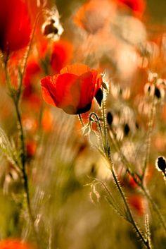 Poppy by Ayaano