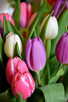 These tulips are mine today!  Beautiful colors, spring mood, nice smell. © Oli Ko, 2015