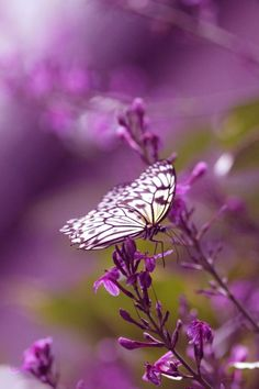 LAVENDER FLOWERS AND A PURPLE AND WHITE BUTTERFLY FOR MY PURPLE WORLD