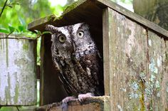 Our Screech Owl is a #hoot
