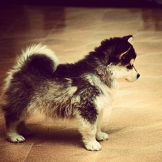 Pomsky!!! pomeranian + husky! want want want