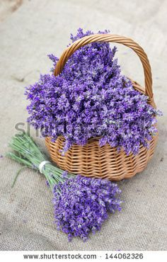 Shop for Lavender Seeds by the Packet or Pound.Com offers Hundreds of Seed Varieties, Including the Finest and Freshest Lavender Seeds Anywhere. Lavender Seeds, Lavender Cottage, French Lavender, Lavander, Lavender Blue, Lavender Flowers, Purple Flowers, Beautiful Flowers, Types Of Lavender Plants