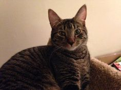 ** MISSING **His name is Sterling and he's been missing since August or September 2015. He is a brown tabby, about 3 years old and neutered. No collar or chip, unfortunately. Please contact katbaka@gmail.com or text 626-808-7609 if you know of any leads!! We last saw him around Wellwood Park in Merchantville, NJ…Maple Ave/Hamilton StRead More