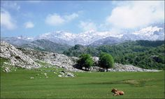 Ternero sesteando en la vega del lago Enol, con las nevadas cumbres del macizo de Cornión al fondo, Asturias