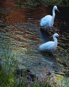 菜の花がチラホラの中 優雅な白いカップルが春デート。   #bird #鳥