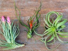 Join the Tilly of the Month Club and get air plants delivered to your door monthly. A great gift idea too! #airplants #tillandsia Types Of Air Plants, Air Plants Care, Plant Care, Buy Plants, Hanging Terrarium, Air Plant Terrarium, Terrarium Kits, Terrariums, Hanging Air Plants
