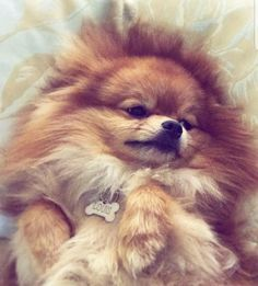 Marvelous Pomeranian Does Your Dog Measure Up and Does It Matter Characteristics. All About Pomeranian Does Your Dog Measure Up and Does It Matter Characteristics. Spitz Pomeranian, Cute Pomeranian, Pomeranians, Cute Puppies, Cute Dogs, Animals And Pets, Cute Animals, Pomes, Save A Dog