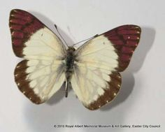 Lilac tip butterfly - This butterfly was originally part of Suffert's collection before being added to that of Mr Joicey whose collection was donated to the Museum. This specimen was collected in Lindi, Tanzania in 1912.