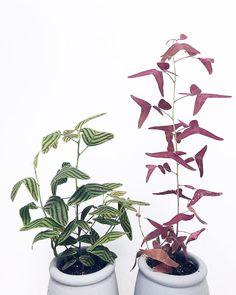 Christia Obcordata #houseplants