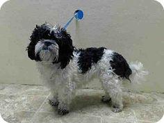Brooklyn, NY - Shih Tzu. Meet LADY a Dog for Adoption.