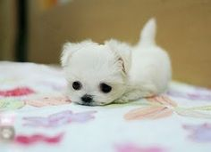 Cute teeny tiny Maltese puppy.