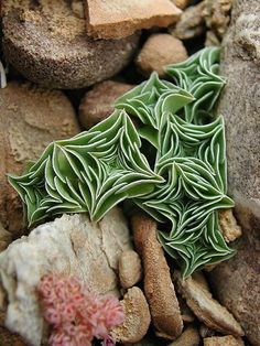 starfish succulent must find this plant. it appeals to my math brain