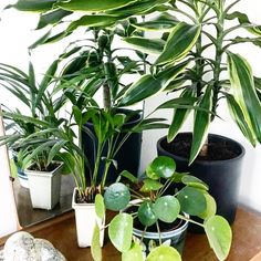 Houseplant obsessed? Yes, we are! #houseplants #pilea