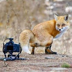 This is the funniest fox I know! Set up a camera with a remote shutter and waited for this fox to walk by the camera for a wide angle shot what this fox did in front of the camera was priceless. Photo and caption by World Photo, Walking By, Cute Baby Animals, Vacation Trips, Vacation Travel, Vacations, Best Funny Pictures, Amazing Pictures, Cute Babies