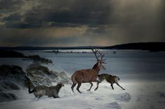 Hunting with scottish deerhounds (part 2) : capture. Photocompositing by Marie-Lise Robert.
