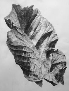 Leaf No.1, Charcoal on paper, 100 x 70 cm. Charcoal drawing by Liu Ling from Art Is http://artis.sg - #nature #realism