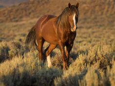 Mustang / Wild Horse, Chestnut Stallion Walking, Wyoming, USA Adobe Town Hma Premium Poster by Carol Walker at Art.co.uk