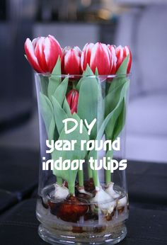 DIY Year Round Indoor Tulips