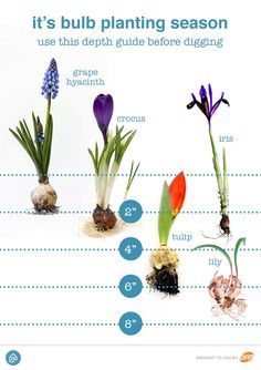 SC Johnson: Our Products Now is the perfect time to start planting bulbs for your spring garden! Keep this guide handy when you are getting ready to do some planting. Garden Bulbs, Planting Bulbs, Tulips Garden, Fruit Garden, Autumn Garden, Spring Garden, Organic Gardening, Gardening Tips, Gardening Books