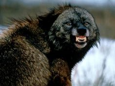 The wolverine is SOO fascinating! It looks like a bear but it's actually a large weasel. It travels up to 24 kilometers a day in search for food. Kills bears, caribou, wolves... It backs down to nothing.