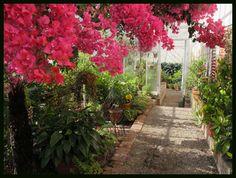 arching bougainvillea at historic Lyman Estate greenhouse