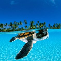 Baby Green Sea Turtle in French Polynesia David Doubilet's photo of a baby sea turtle paddling toward the open sea off the Nengonengo Atoll in French Polynesia is cute. The Ocean, Ocean Life, Ocean Beach, Pesca Sub, Baby Sea Turtles, Turtle Baby, Ninja Turtles, Turtle Swimming, Turtle Love