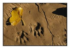 Animal Tracks in the Mud