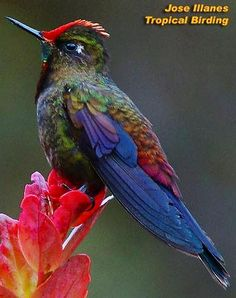 Rainbow-bearded Thornbill Hummingbird via Bird's Eye View at www.Facebook.com/aBirdsEyeViewForYou