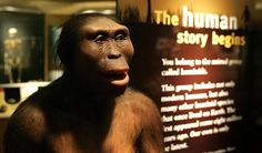 "Human evolution is an unfolding process with chapters yet to be written; no one really knows where we're going. But we can look back to earlier chapters, with ancestors like Australpithecus afarensis, including the individual we call ""Lucy"" (seen above), for an understanding of how evolution works and what has happened to us over time."