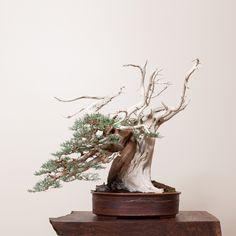 Sierra Juniper No. 6 | Bonsai Mirai