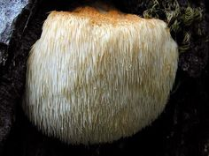 The Lion's Mane Mushroom can Improve Brain Health and Increase Memory. How to use Lion's Mane Extract Capsules as a Nootropic Supplement?