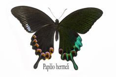 Tropical Swallowtail Butterfly, Papilio hermeli, photographed by:  Darrell Gulin