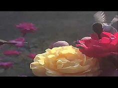 A Rosa e o Beija Flor Matheus e Kauan  CRIS
