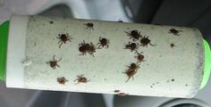 A Genius Trick To Keep Ticks From Biting You - Peppermint Oil & a Lint Roller Tick Bite, Healthy Holistic Living, Healthy Living, Lyme Disease, House And Home Magazine, Pest Control, The Fresh, Helpful Hints, Health Tips