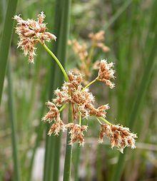 Scirpus californicus