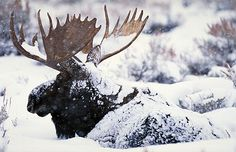 winter moose Moose Pics, Moose Pictures, Deer Photos, Funny Animal Pictures, Moose Hunting, Bull Moose, Moose Art, Deer Species, Chocolate Moose