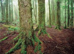 Myrtle forest in the Rattler Range, North East Tasmania. Image by Rob Blakers.