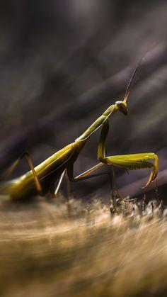 богомол, насекомое, макро, зеленый, арт, трава, Mantis, insects, macro, motion, green, art, grass