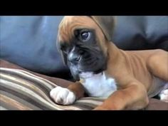 Confused Boxer Puppy. That's terribly adorable.