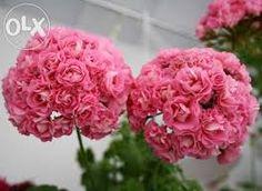 Kuvahaun tulos haulle pelargonium swanland pink