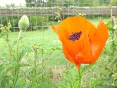 orange poppies: orange poppies