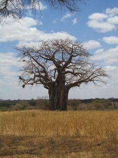 Baobob Tree in Tanzania  Wow!