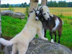 Great Pyrenees ( known as the livestock guardian dog) and a goat
